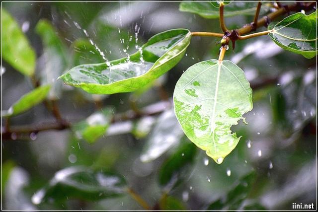những giọt mưa thu rơi trên lá
