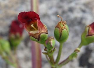 Escrofularia auriculata (Scrophularia auriculata)