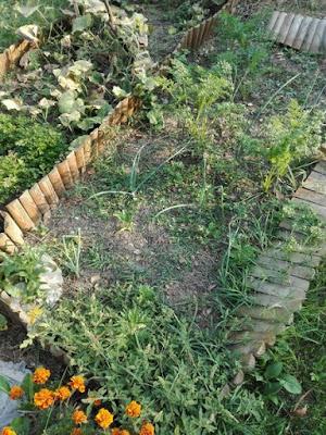 Orto biologico: a settembre cipolle, carote e ancora portulaca