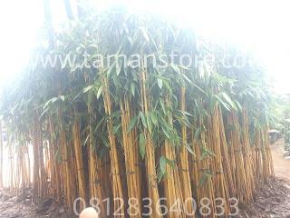 Tanaman hias bambu kuning