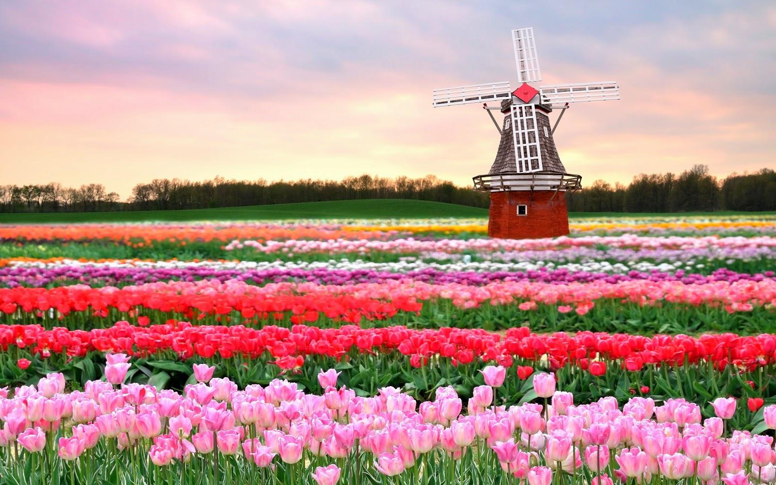jika mexico terkenal dengan bunga dahlia nya maka belanda tulip juga ladang terindah di dunia