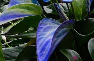 Gambar Bunga Anthurium yang Cantik 11