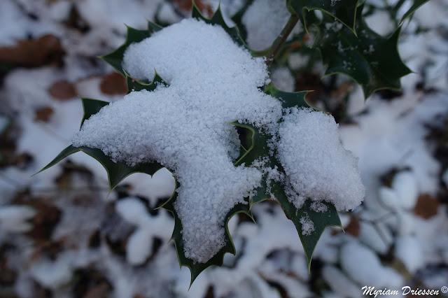 rameau de houx sous la neige