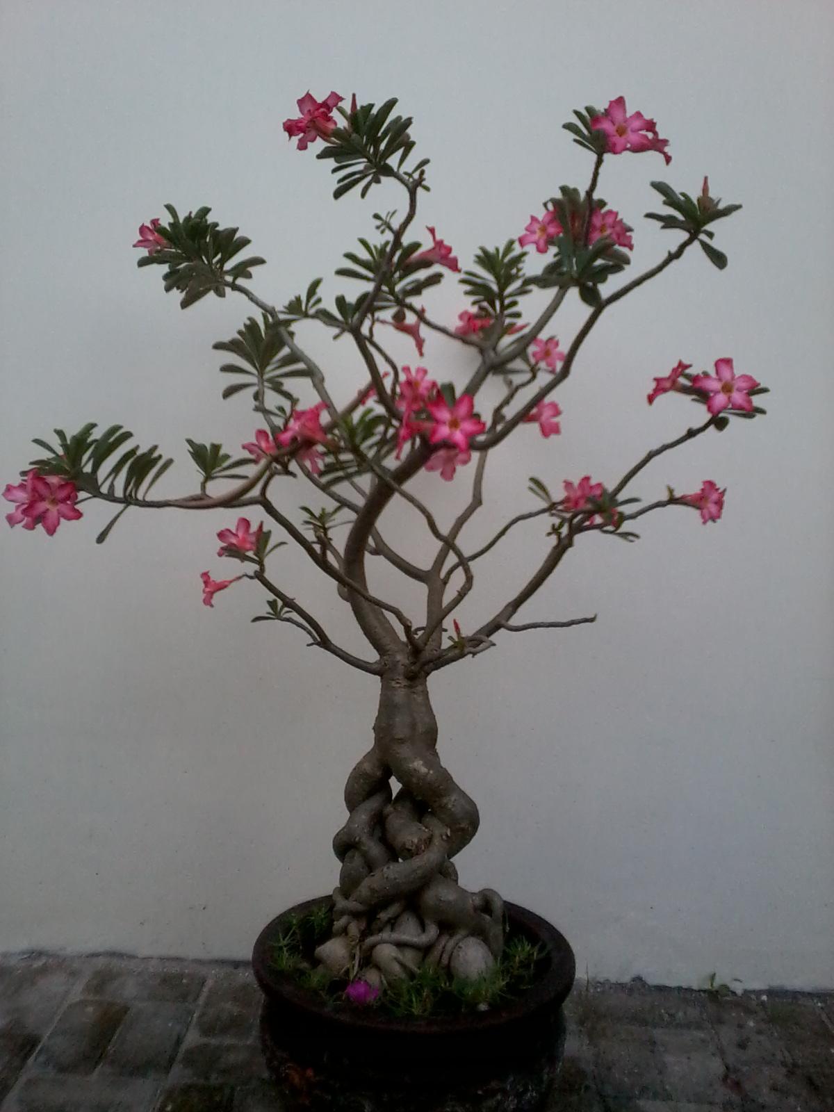 Berbagai Manfaat Bunga Kamboja Jepang Untuk Kecantikan Dan Kesehatan Terbaru Gambarcoloring