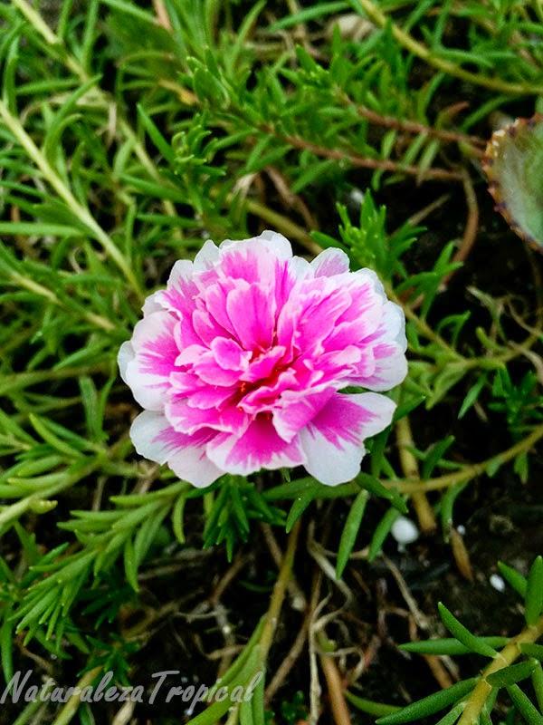 Variedad matizada de la flor Diez del Día, nombre popular de Portulaca pilosa