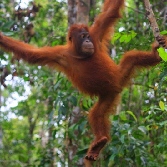 Tour klotok Orangutan in Tanjung Puting