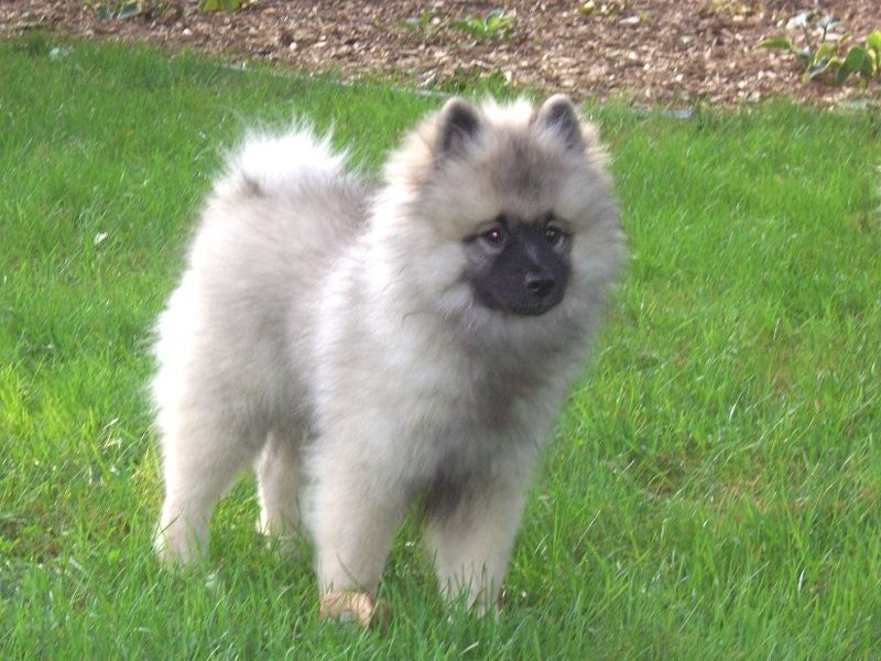 Keeshond Rescue Puppies Home Pictures