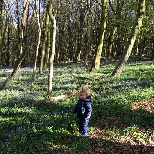 Bluebells and Macaroni Cheese. Toddler walking amongst bluebells