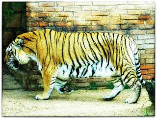Tigre do Parque Zoológico de Sapucaia