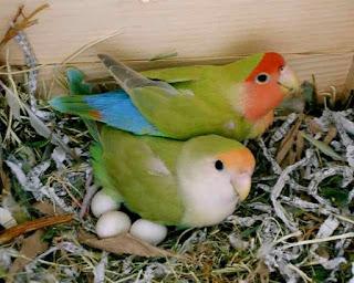 lovebird betina, egg binding, telur lovebird lengket