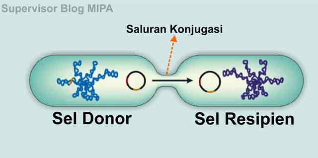 reproduksi atau perkembangbiakan bakteri secara paraseksual melalui konjugasi