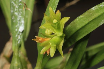 Dendrobium kanburiense care and culture