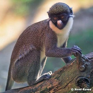 Lesser spot nosed monkey