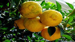 yuzu fruit images wallpaper