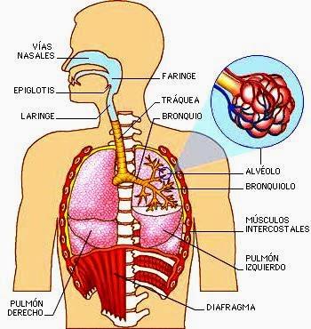 Ilustración del Aparato Respiratorio a colores indicando partes
