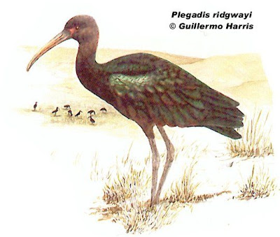 Cuervillo puneño Plegadis ridgwayi