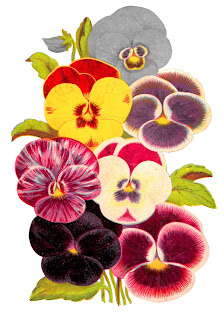 flower pansy botanical artwork image illustration clipart