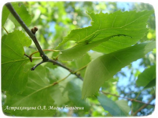 береза, магия биологии, домик из листьев, паук краб