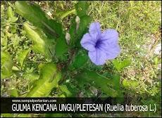 Gulma KENCANA UNGU atau PLETESAN (Ruellia tuberosa L.)