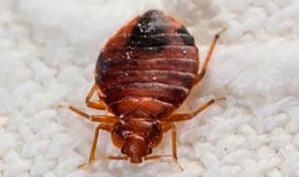Bedbug And Bed Bug Bites Ency123