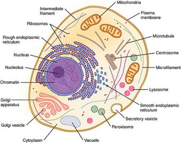 Gambar Struktur Sel Hewan Dan Tumbuhan Beserta Organel Organelnya