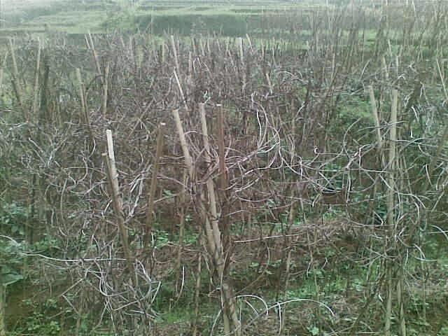 Foto(5722) dijual tanah / jual tanah murah di taman bunga nusantara-sukaresmi 3,1 ha jual tanah di sukaresmi jual tanah di taman bunga nusantara