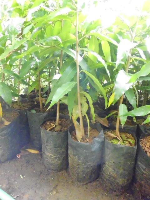 bibit glodogan tiang | glodokan tiang | jual bibit glodogan tiang | pohon glodogan tiang