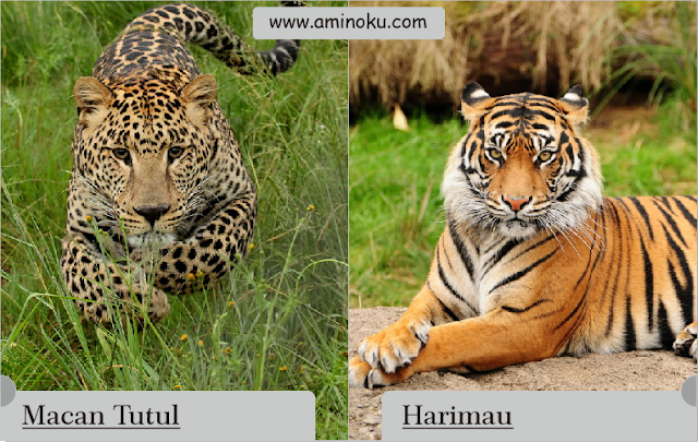 Macan tutul vs Harimau