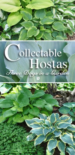 Collectable Hosta