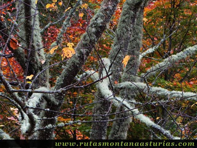 Ruta Bosque de Peloño: Líquenes