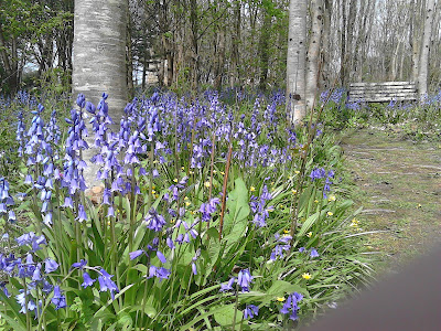 Woodland bluebells Shade loving plants Green Fingered Blog