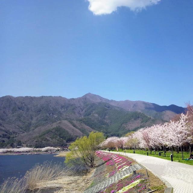 河口湖 桜