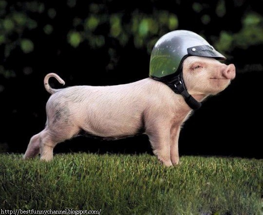 Very funny pictures of animals  Pink Mini Pigs