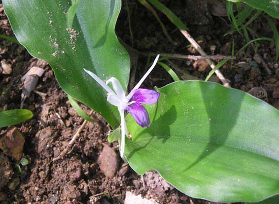 Kaempferia angustifolia