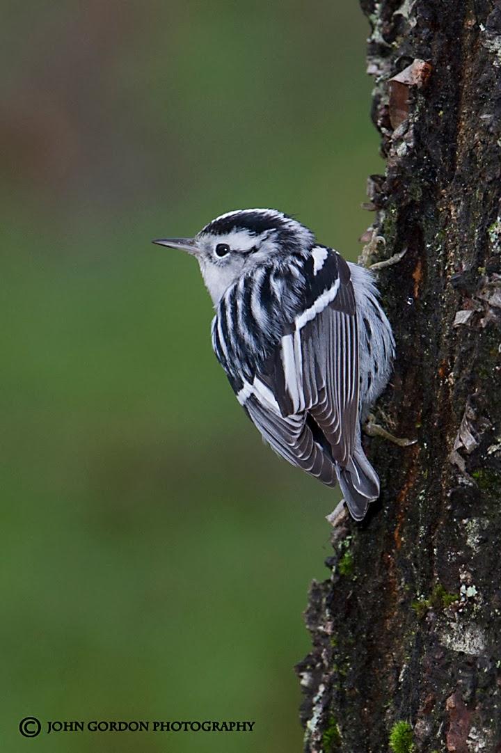 warbler birds beak gordon listening john which