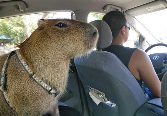 Padre manejando con un chiguire en el carro.
