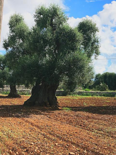 olive-grove-puglia