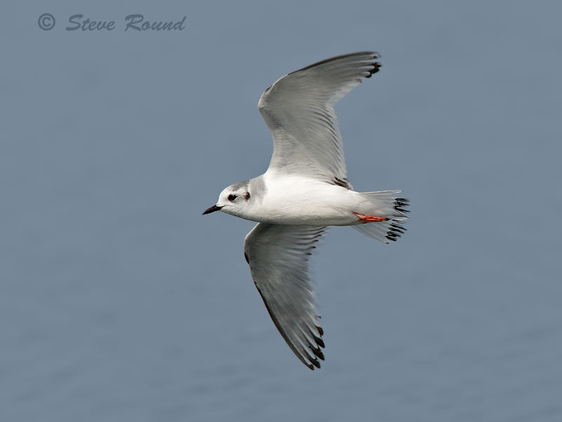 little gull, bird, nature, wildlife