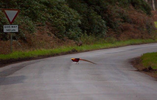 Golden Pheasant - Wolferton Triangle, Norfolk