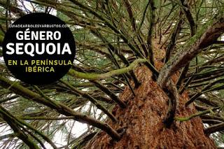 El género Sequoia son arboles que pueden superar los 100 m de altura en condiciones naturales