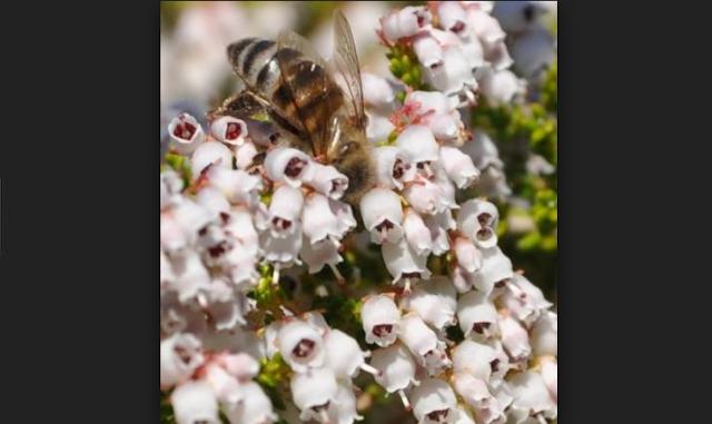 Πωλείται μέλι Ερείκης ανοιξιάτικης εσοδείας στο Αγρίνιο