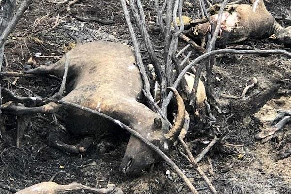 Cientos de animales muertos dejó incendio forestal en Cochrane , chile.