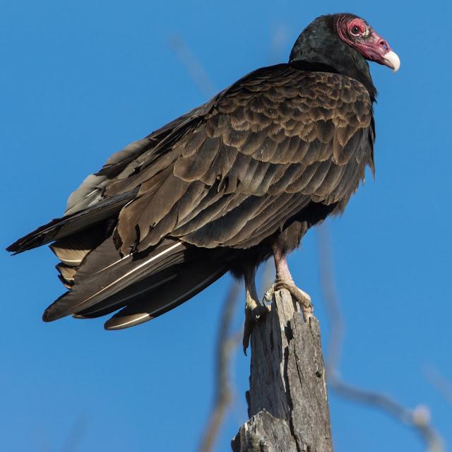 Turkey Vulture, Hagerman National Wildlife Refuge