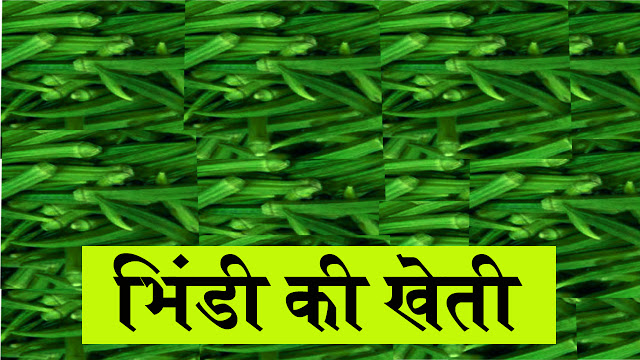 Bhindi Ki Kheti Hindi mein