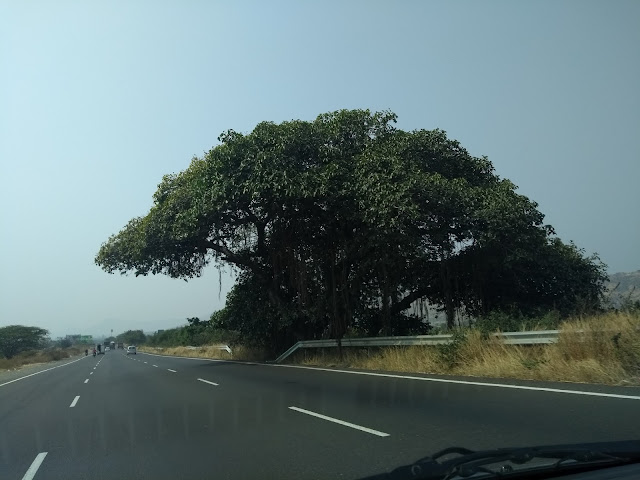 NH4, Pune, Ficus, Tree