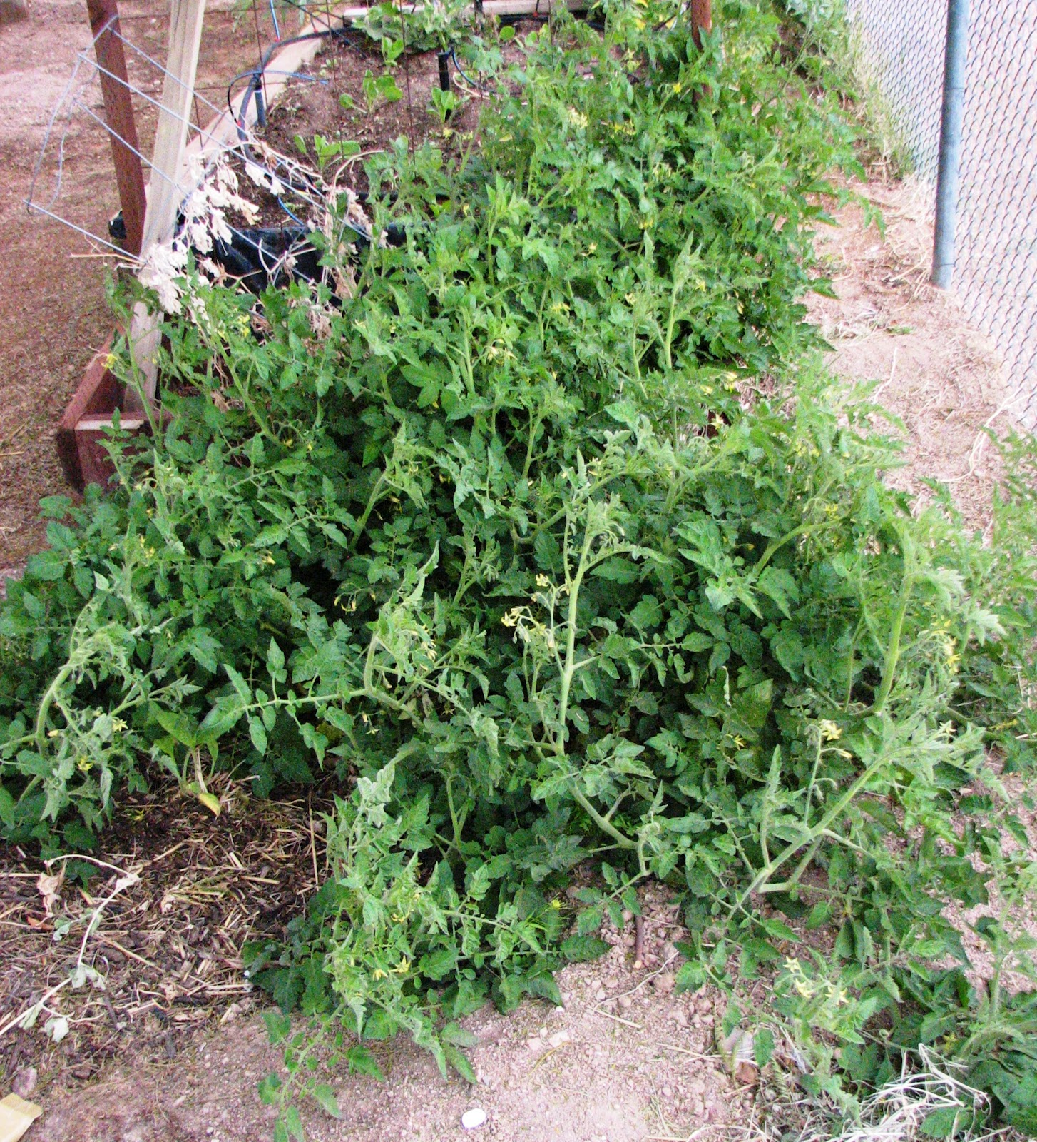 Rensselaer County Vegetable Blog Prune Tomatoes Diagram Of Tomato Plant Feral Escaping Its Cage Source Scientificgardenerblogspotcom