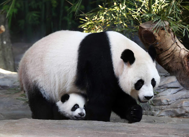 saved from extinction by the Chinese government