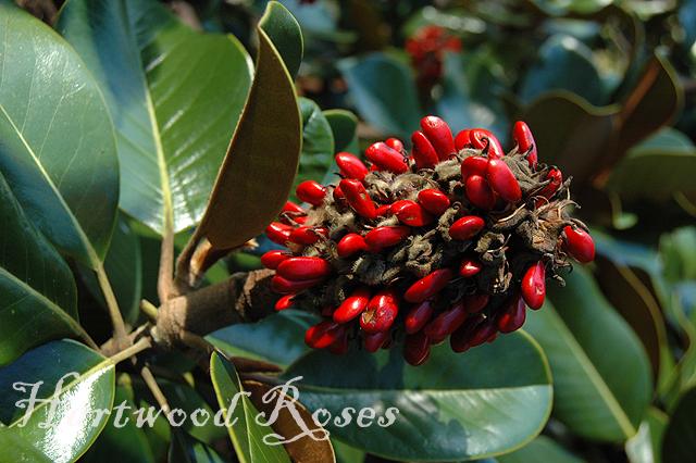 Hartwood Roses Magnolia Pods
