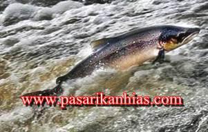 Harga Ikan Salmon Per Kg Di Pasaran