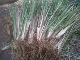 tukang rumput vetiver